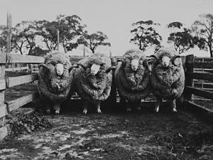 Pastoral industry - Sheep and wool - Four Stud Merino rams on Analby Station, Kapunda, SA [photographic image] / photographer, Cliff Bottomley. 1 photographic negative: b&w, acetate