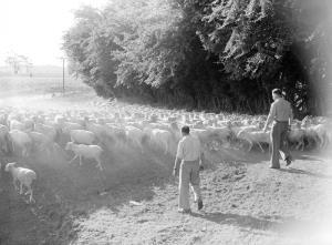 herding sheep at